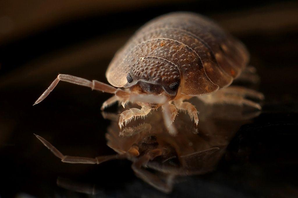 bed-bug-blood-sucker-bug-35804_47-1024x682